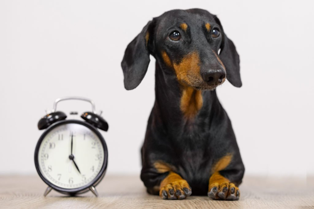 Hungry dachshund sat next to a clock waiting for dinner time
