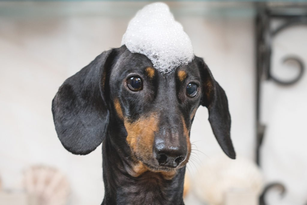 Do You Need to Groom a Dachshund? Smooth-haired dachshund with shampoo on his head