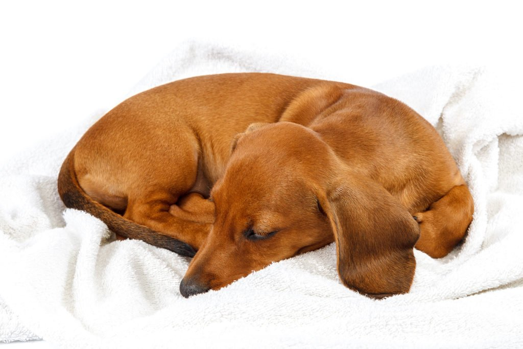 How To Care For a Dachshund's Back. Dachshund curled up on a dog bed with lots of blankets