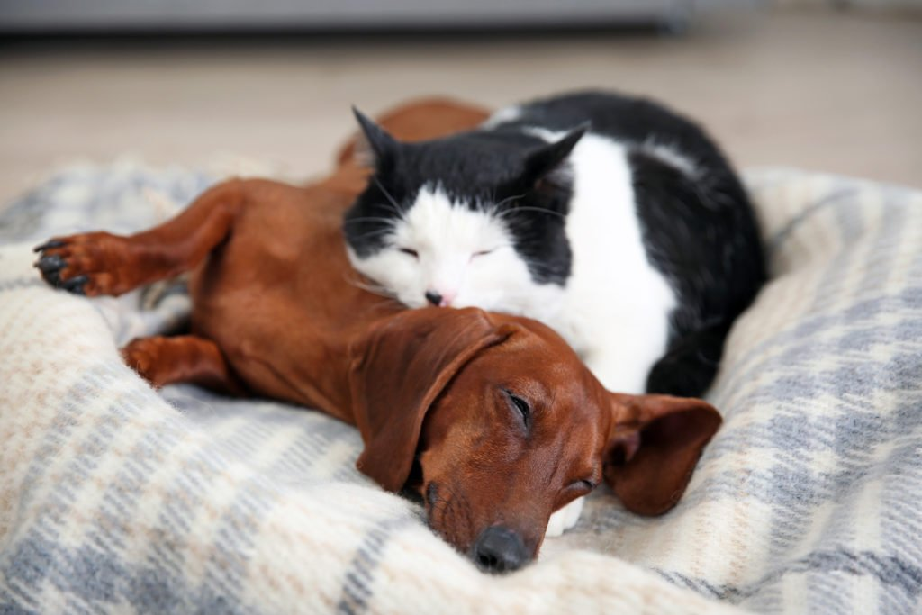 Can Dachshunds Live with Cats? Cat sleeping on top of a dachshund on a blanket