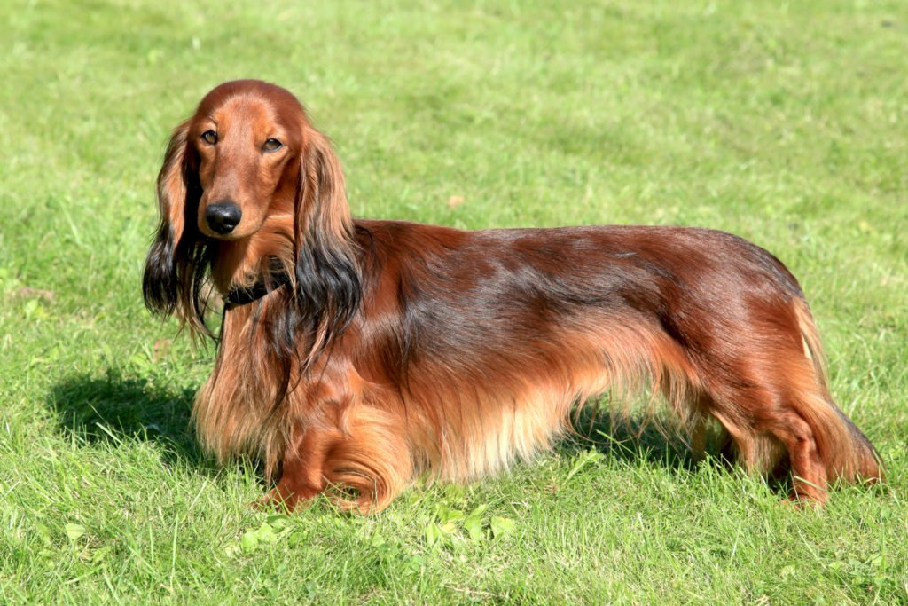 Long-haired standard dachshund standing on the grass in the sunshine