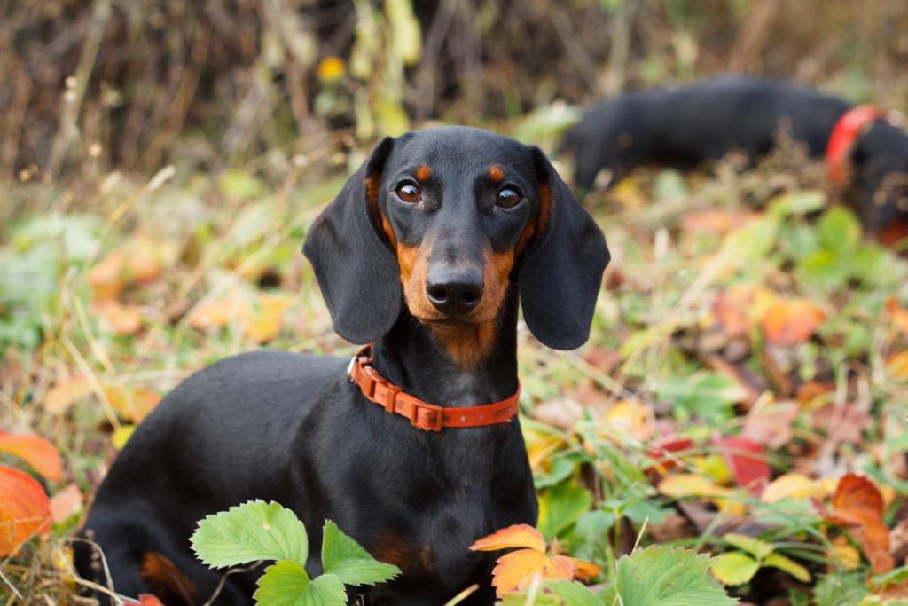 Why Do Dachshunds Dig? Two dachshunds out on a walk sniffing and digging