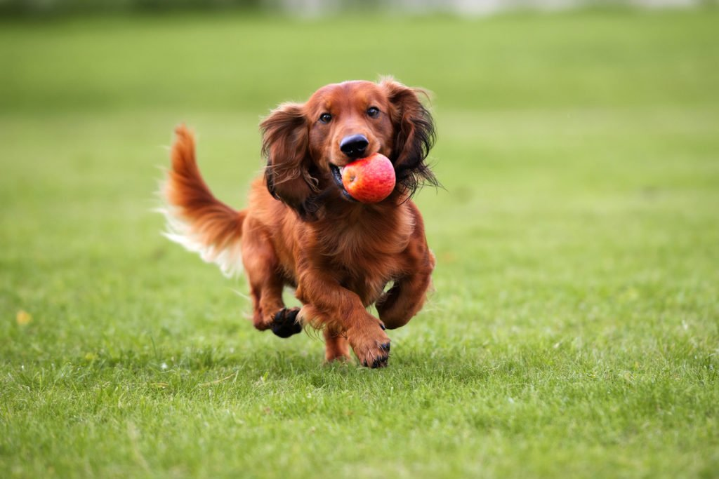 Do standard dachshunds need more exercise? Standard dachshund running across the grass with an apple in his mouth