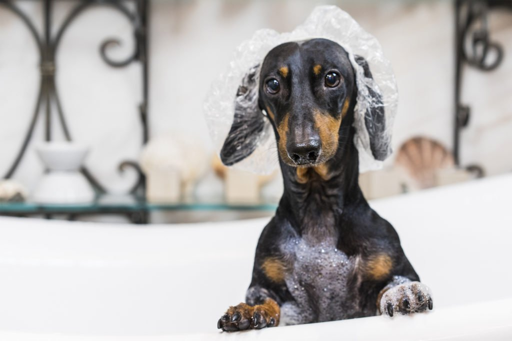 How do I stop my dachshund shedding? A dachshund in the bath wearing a shower cap and covered in shampoo