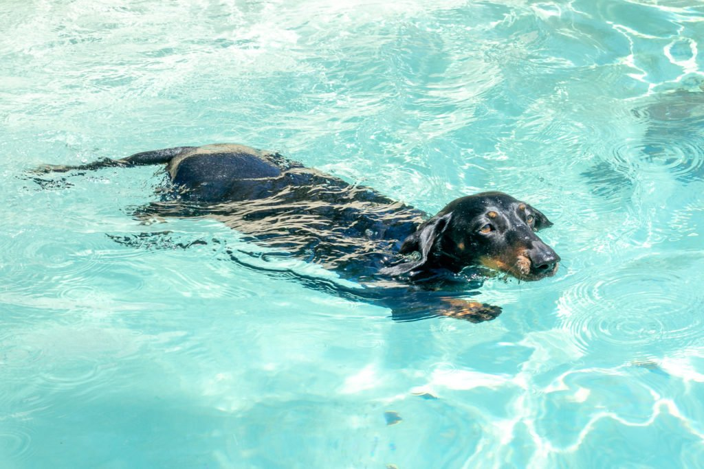 Can dachshunds swim? Dachshund swimming in a pool