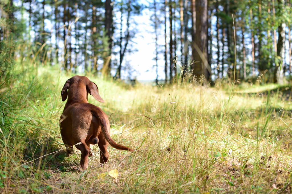 How much exercise does a dachshunds need? Dachshund going for a walk in the woods