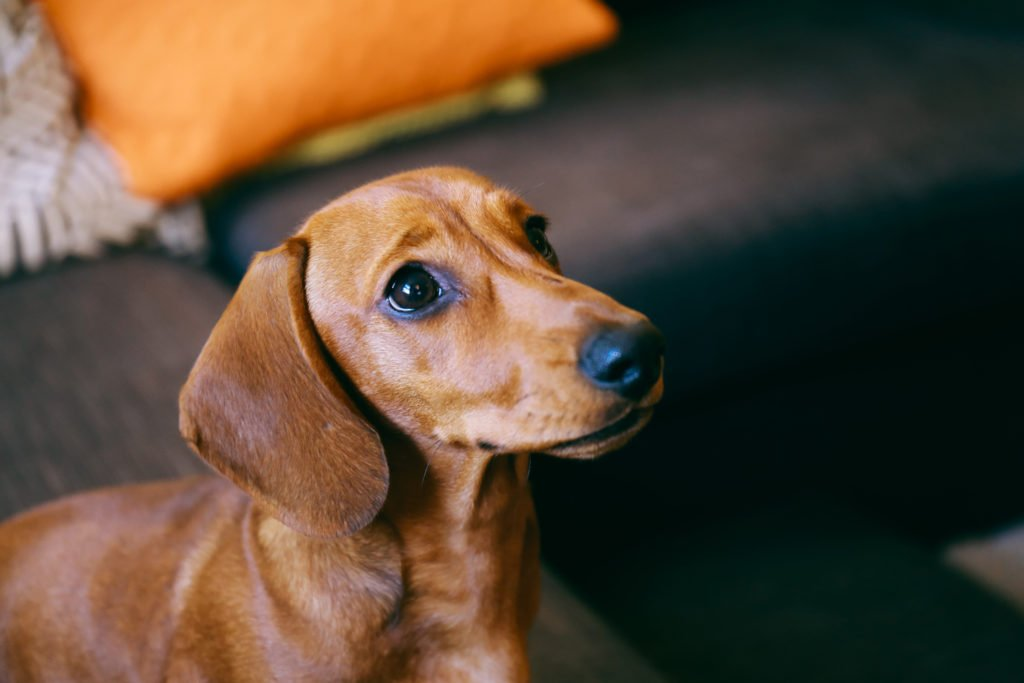 Are miniature dachshunds harder to train? Dachshund sat on the floor being trained