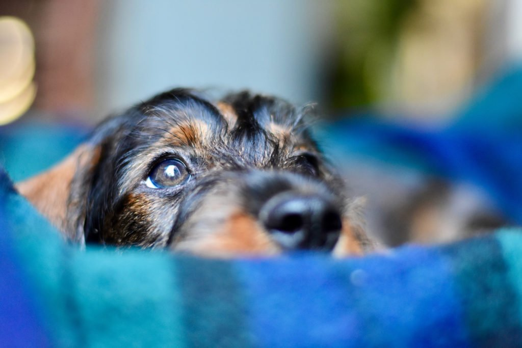 Are Dachshunds Easy to Train? Dachshund puppy's head poking out of his blue bed
