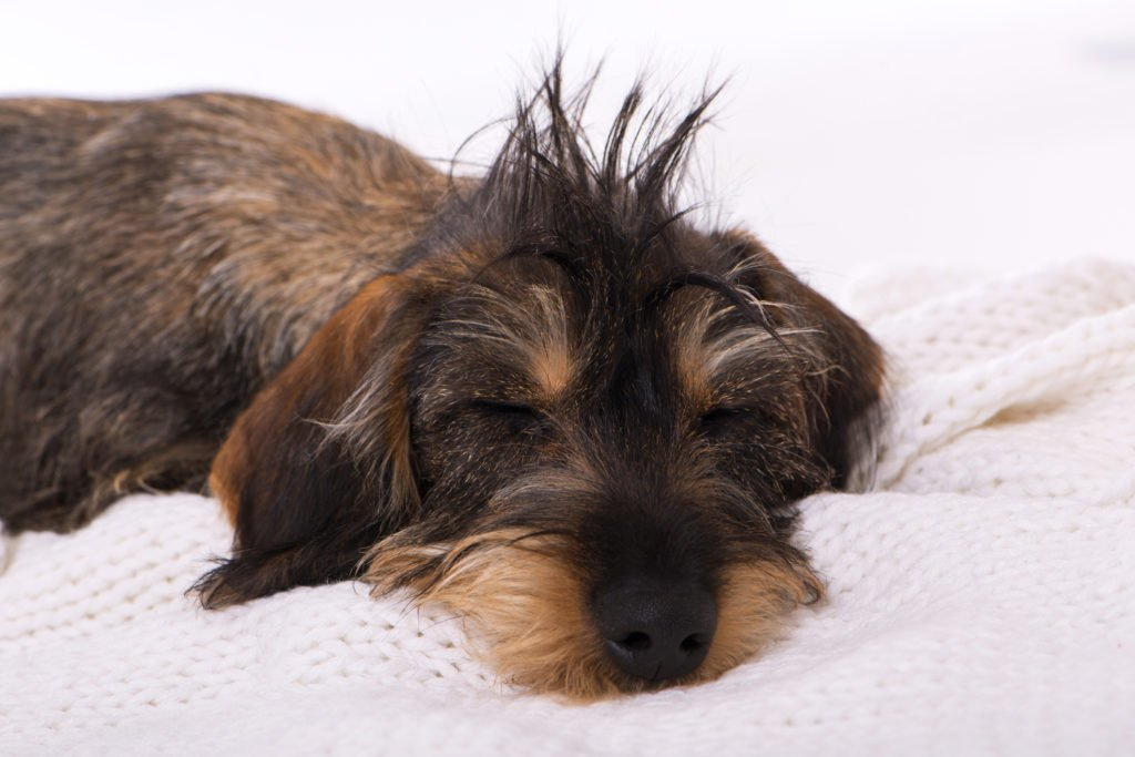 How To Care For a Dachshund. Miniature wire-haired dachshund puppy with lots of hair sleeping on a white blanket
