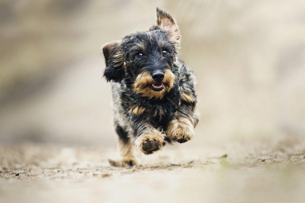 Can dachshunds run? Dachshund running fast on a walk