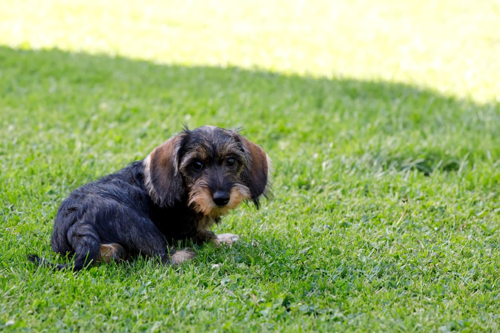 Are Dachshunds Easy to Train? Dachshund puppy sitting on the grass in the garden doing potty training