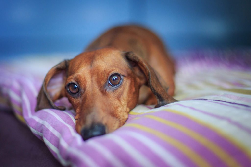 Dachshund laying on a bed with a bad back looking sad