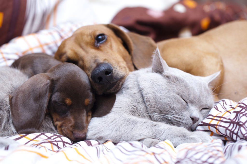 Can Dachshunds Live with Cats? Two dachshunds and a cat all sleeping on the bed together