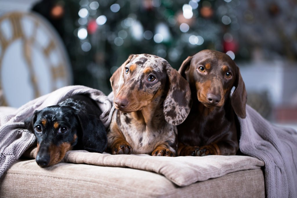 Do Dachshunds Shed? Three dachshunds laying on a big cushion under a cosy blanket