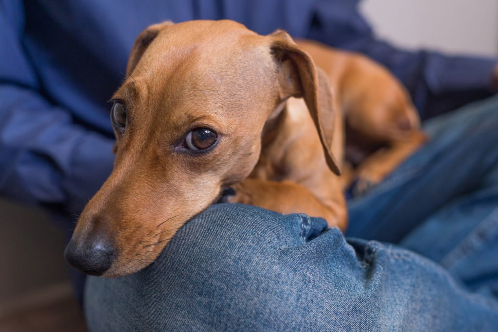 What are the dachshund traits? Dachshund laying on the lap of his owner