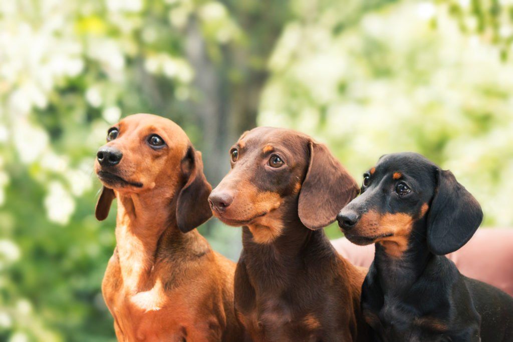Is My Dachshund Miniature or Standard? Three different sized dachshunds