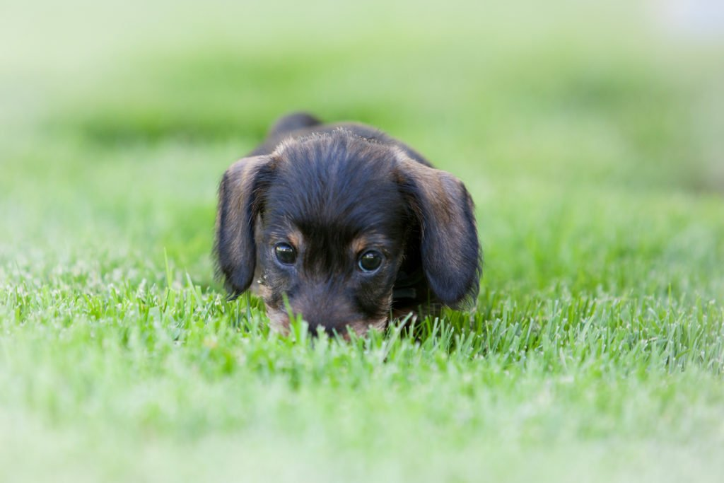 Why is my dachshund eating poop? Dachshund eating poop in the garden