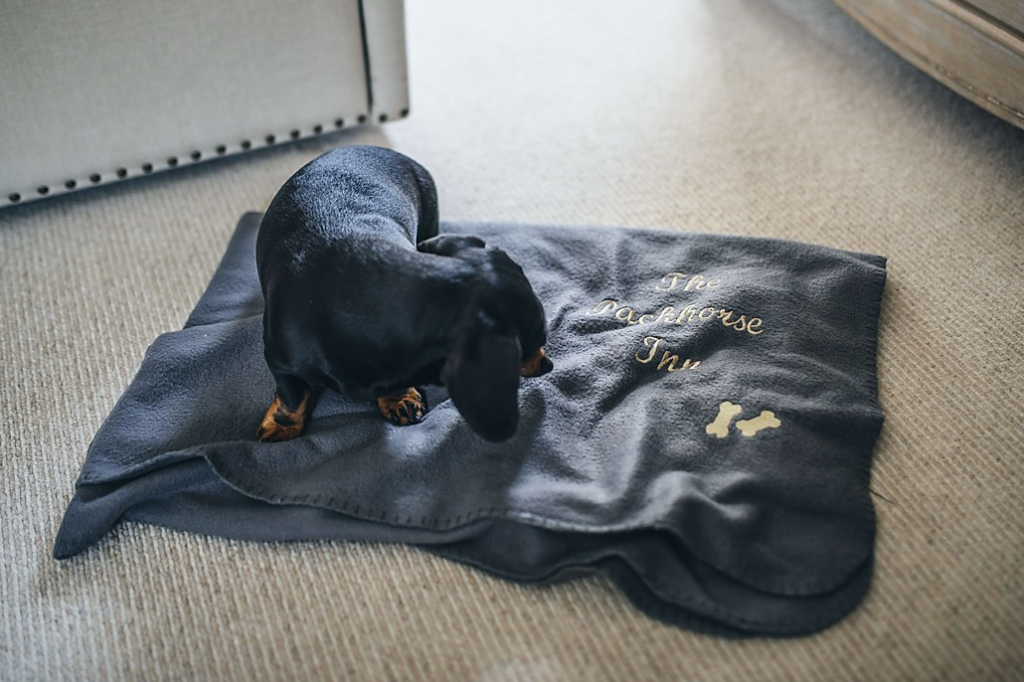 A dachshund curling up on a blanket provided by The Packhorse Inn in Suffolk