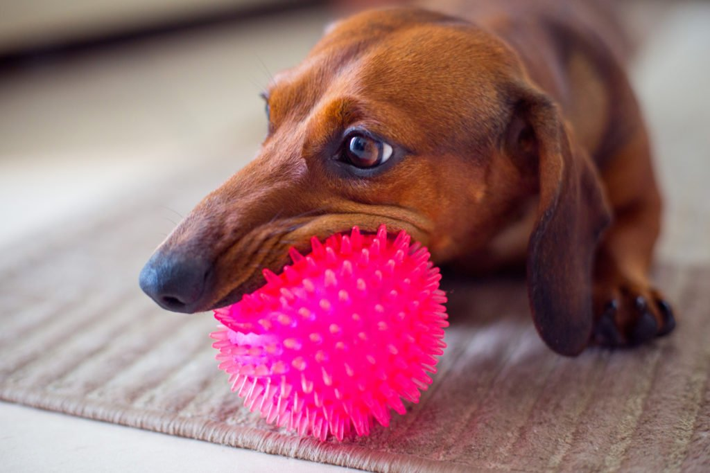 Dachshund playing with a new rubber spiky ball