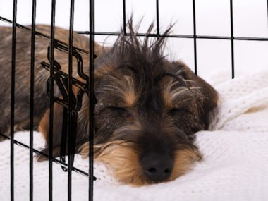 dachshund puppy being crate trained
