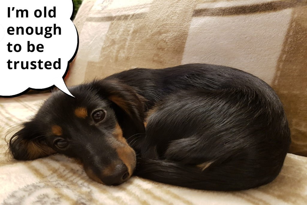 Adult dachshund curled up and laying on the sofa