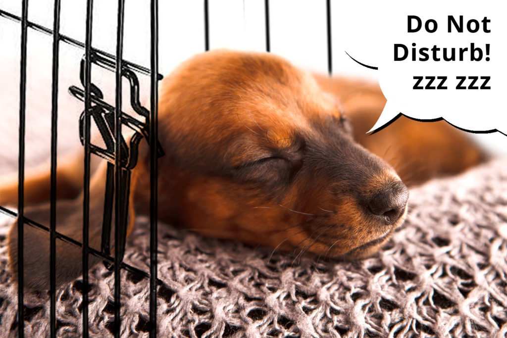 Dachshund puppy sleeping in his crate after being played with