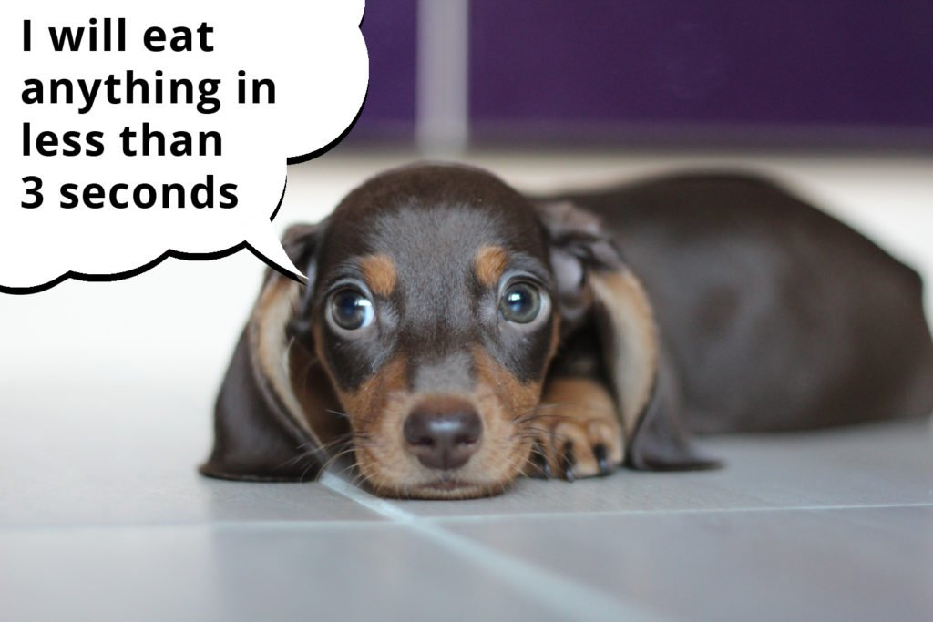 Dachshund puppy laying in the kitchen and waiting for food to drop on the floor