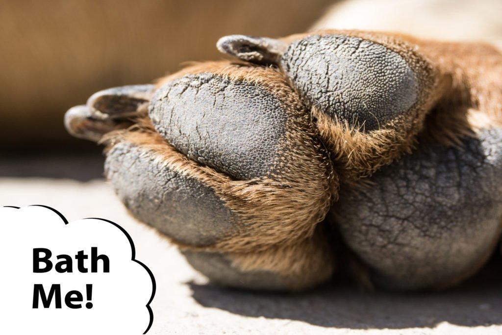 A dachshund with Fritos feet that needs a bath
