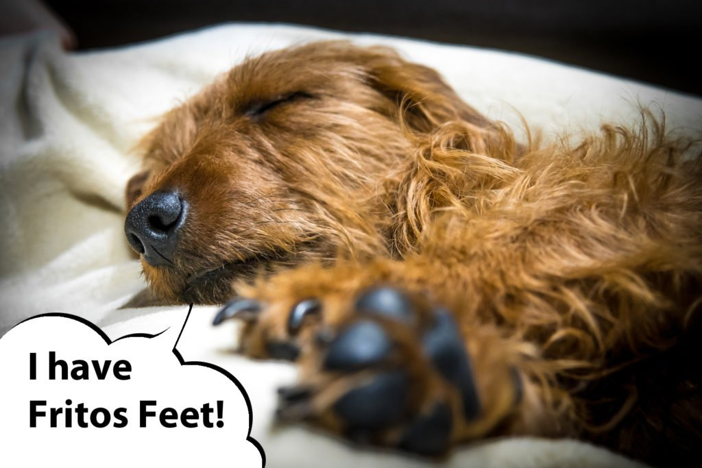 A dachshund with feet that smell like Fritos, corn chips or popcorn