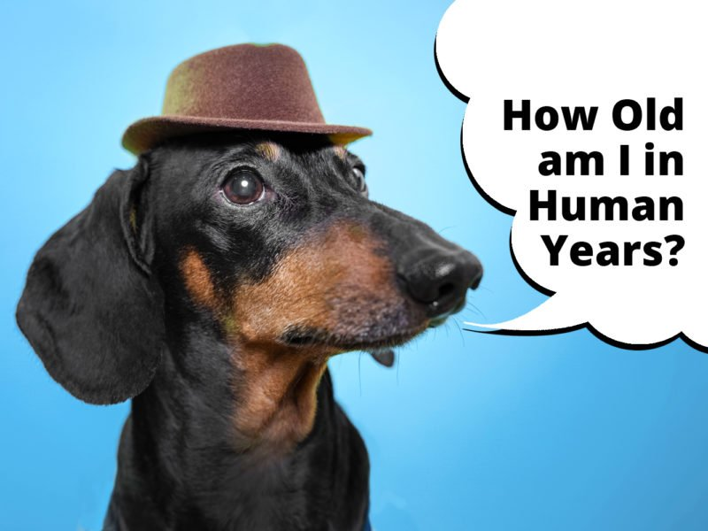 how old is my dachshund in human years
