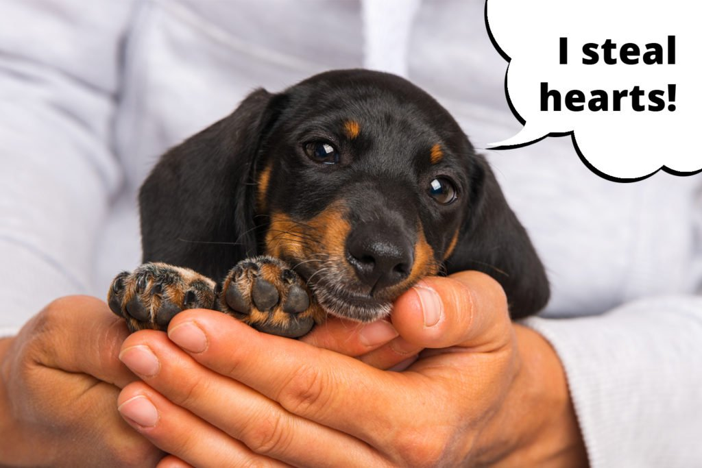 Dachshund puppy stealing the heart of his owner