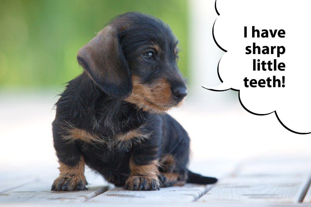 Dachshund puppy play biting