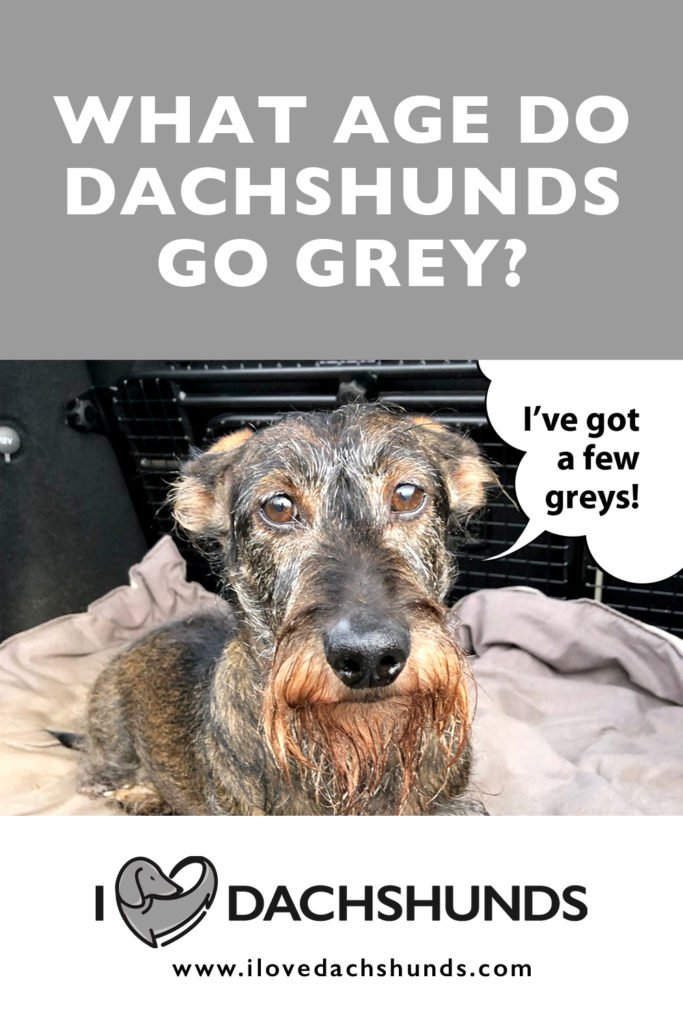 What age do dachshunds go grey