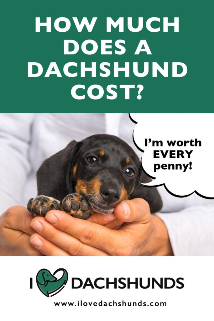 How much does a dachshund cost