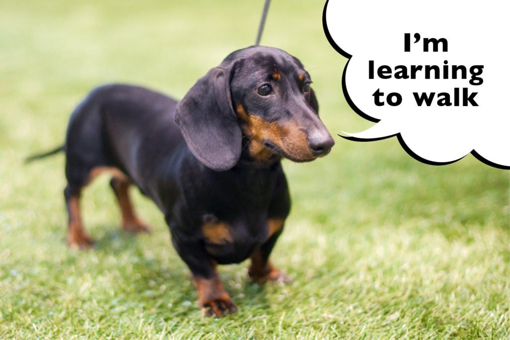 Dachshund learning to walk in the park