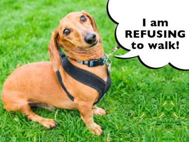 Dachshund refusing to walk