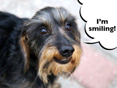 dachshund smiling