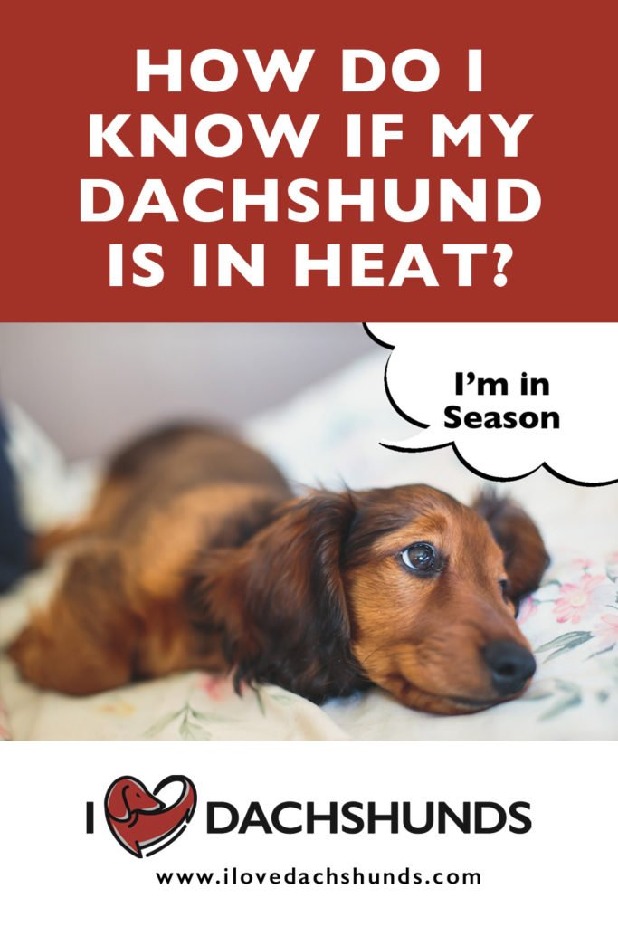 How do I know when my dachshund is in heat