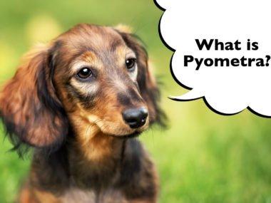 dachshund female pyometra