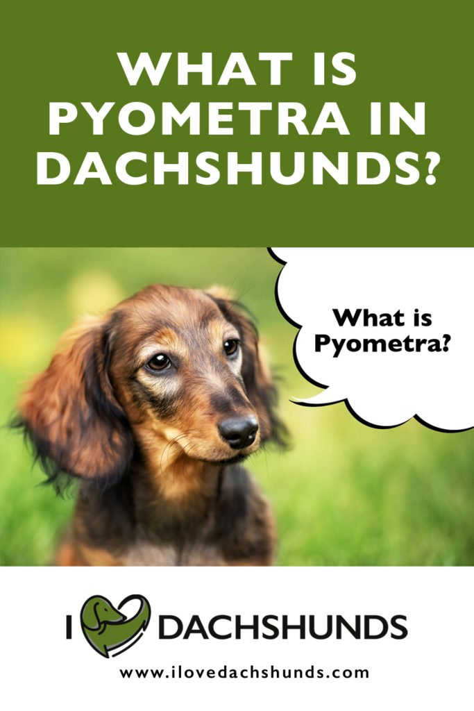 What is Pyometra in Dachshunds