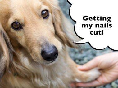dachshund getting nails cut