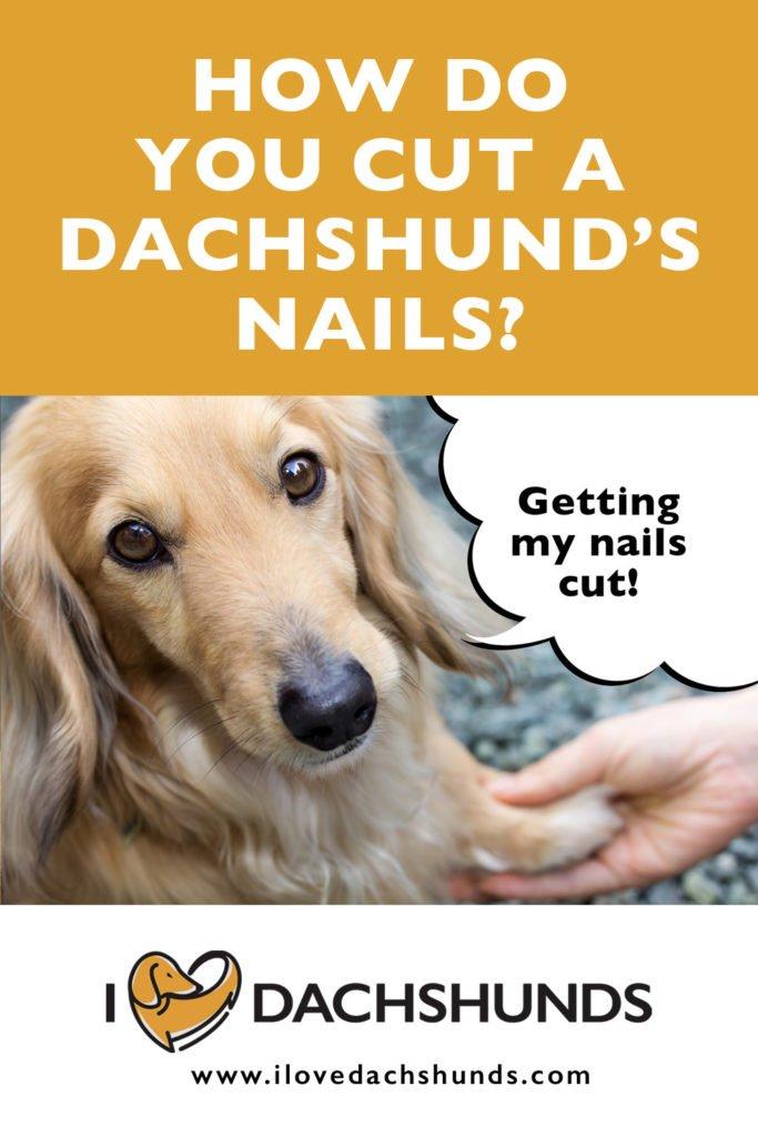 How to cut a dachshund's nails