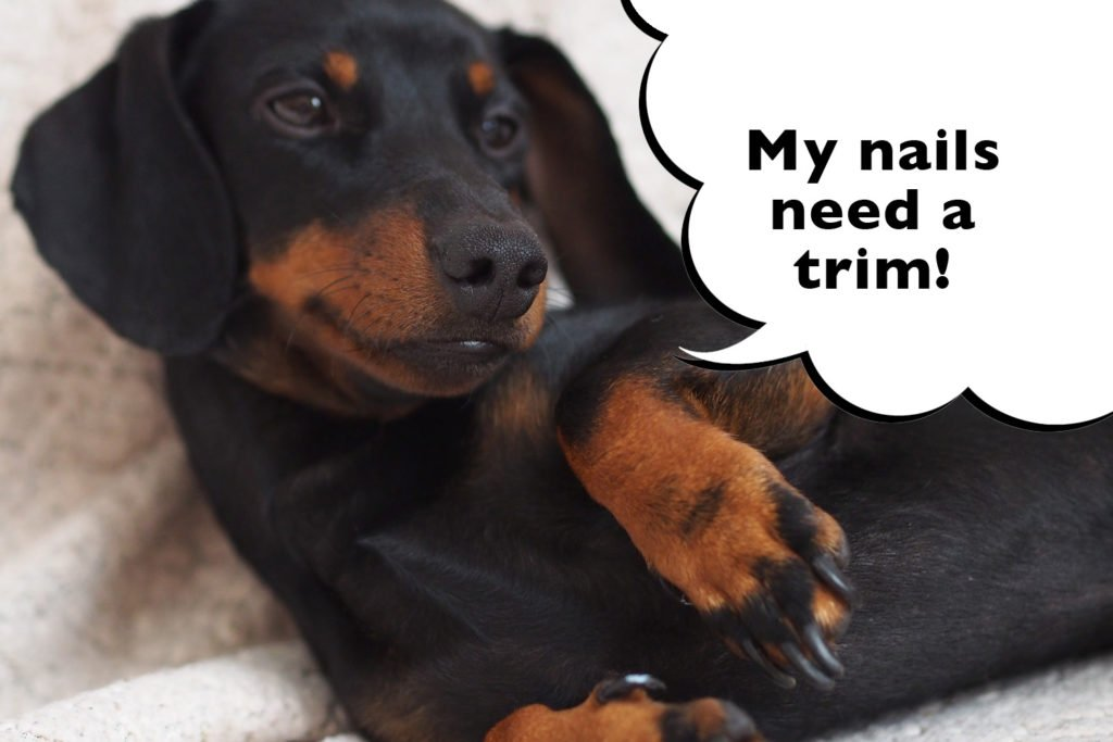 Dachshund with long nails that need a cut