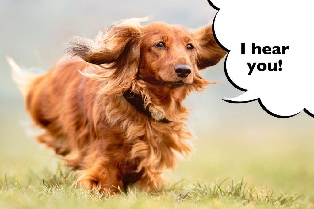 How Do You Teach a Dachshund to Recall? Dachshund practicing recall training with his owner