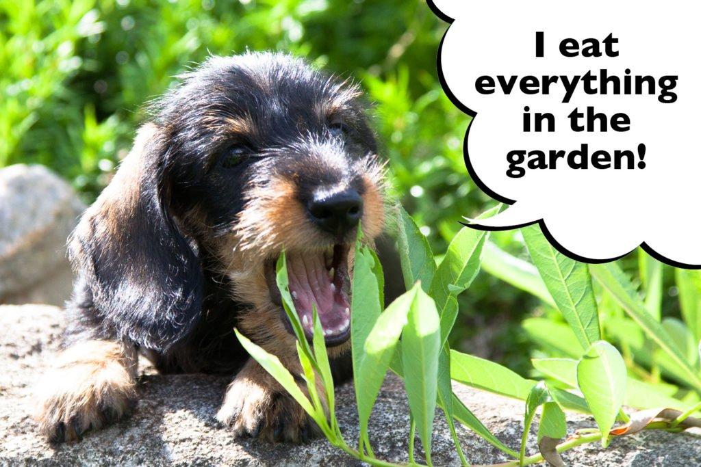 Dachshund eating grass in the garden