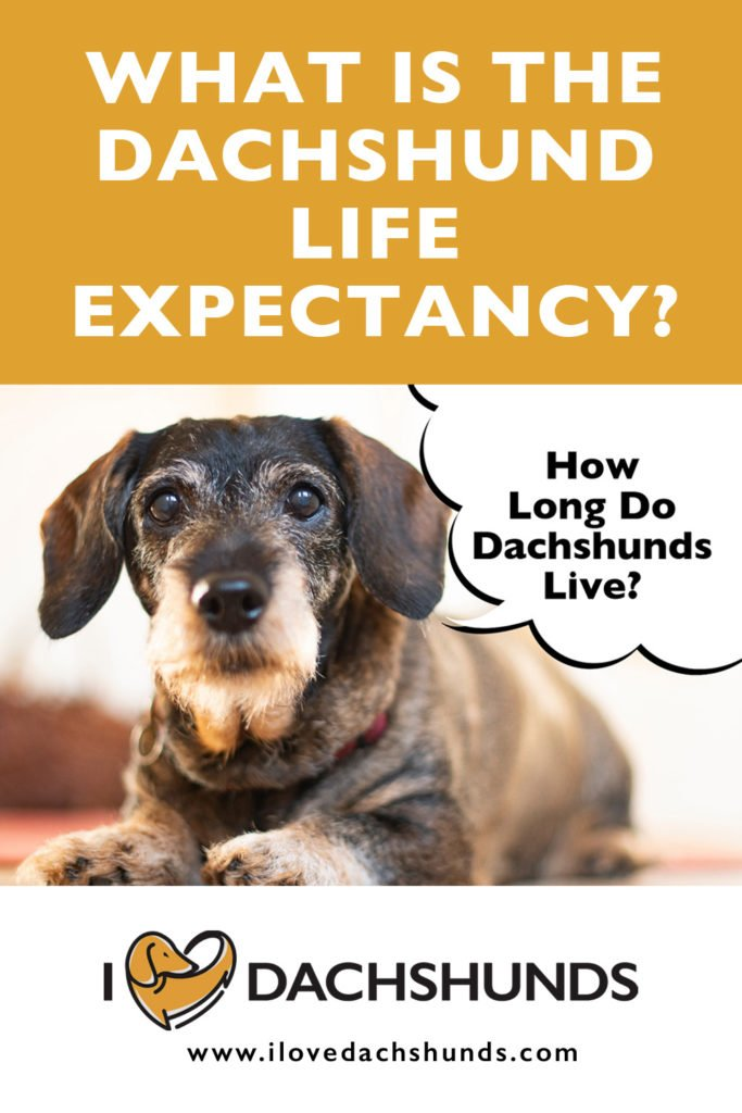 What is the life expectancy of a Dachshund?