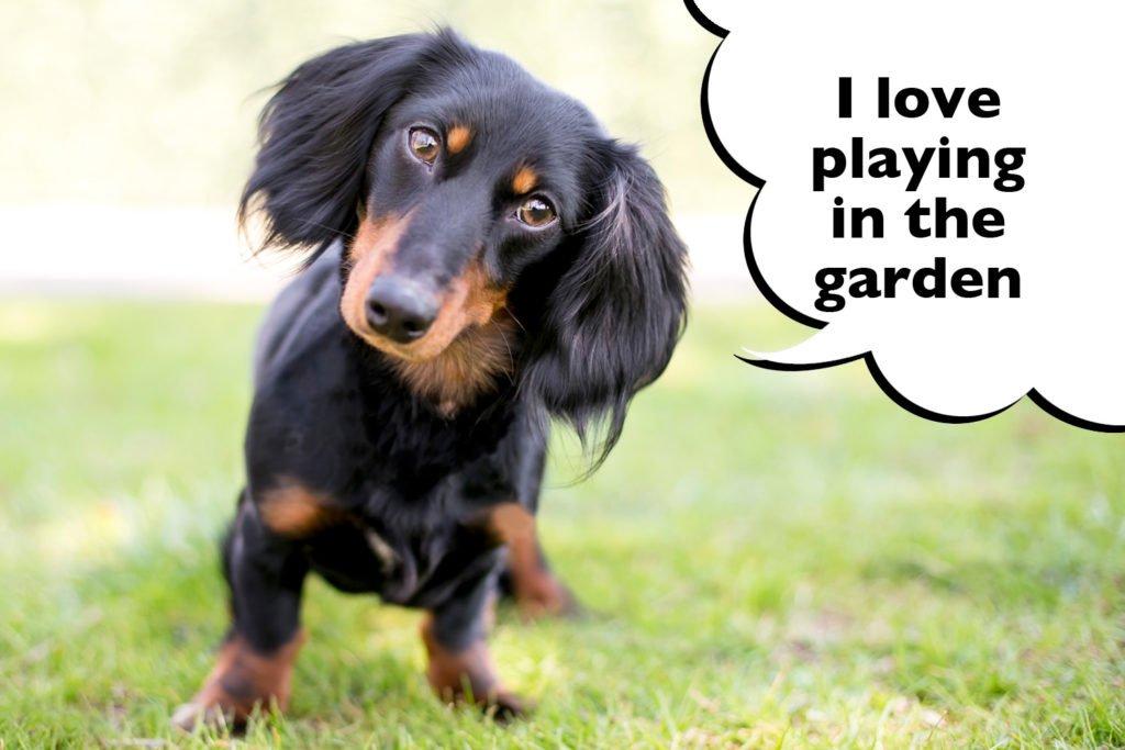 Dachshund playing in the garden or yard