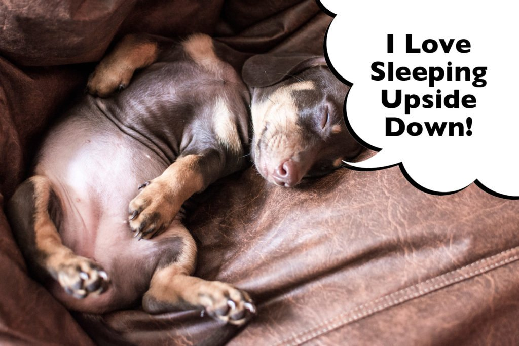 Are Dachshunds the funniest dogs? Dachshund sleeping upside down with feet in the air