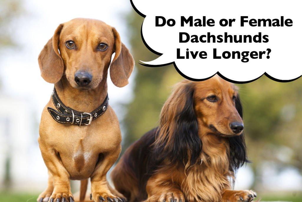 Do male or female Dachshunds live longer?