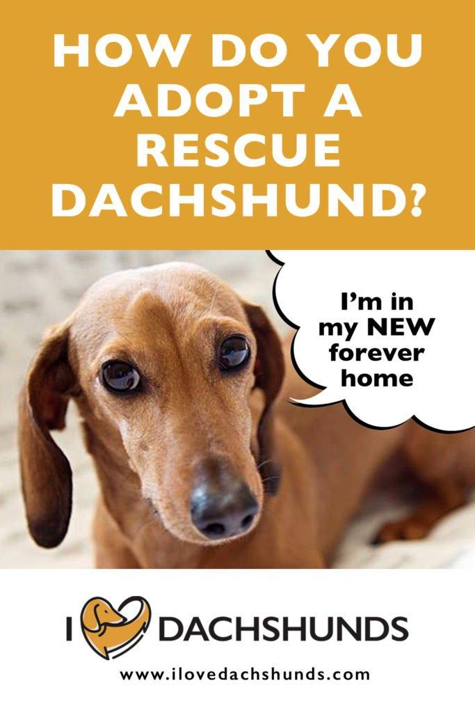 How Do You Adopt A Rescue Dachshund?